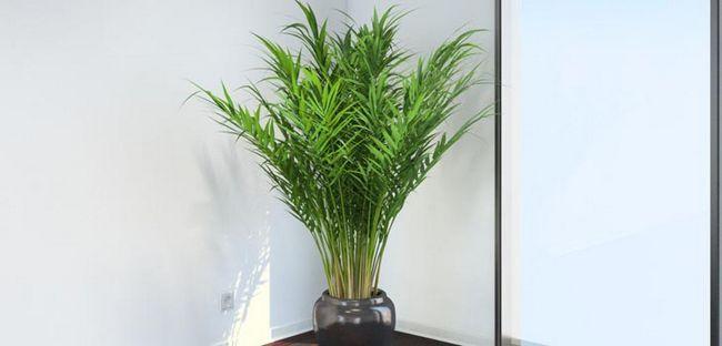Арека, пальма