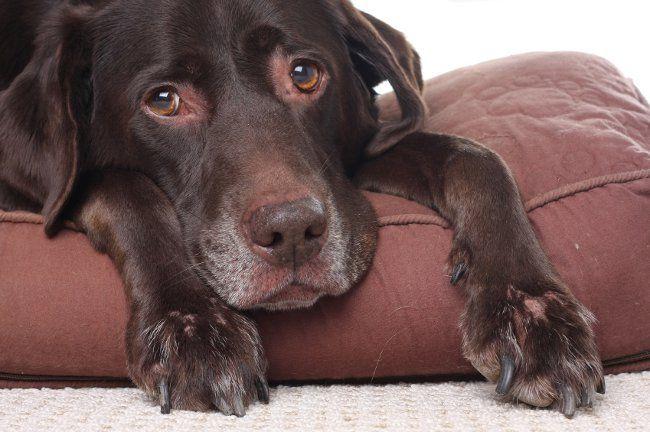 Артрит у собак
