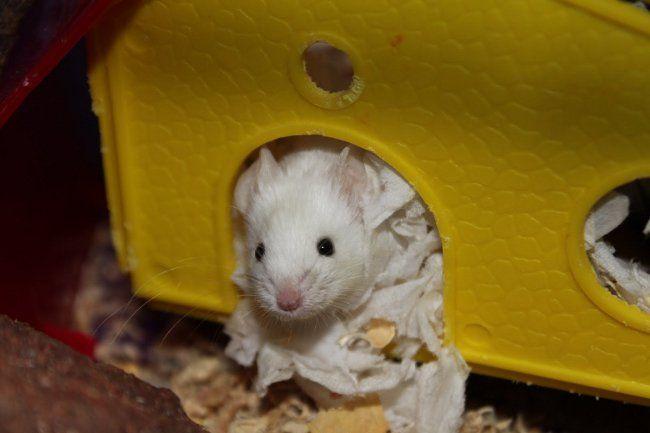 Декоративні миші: утримання та догляд
