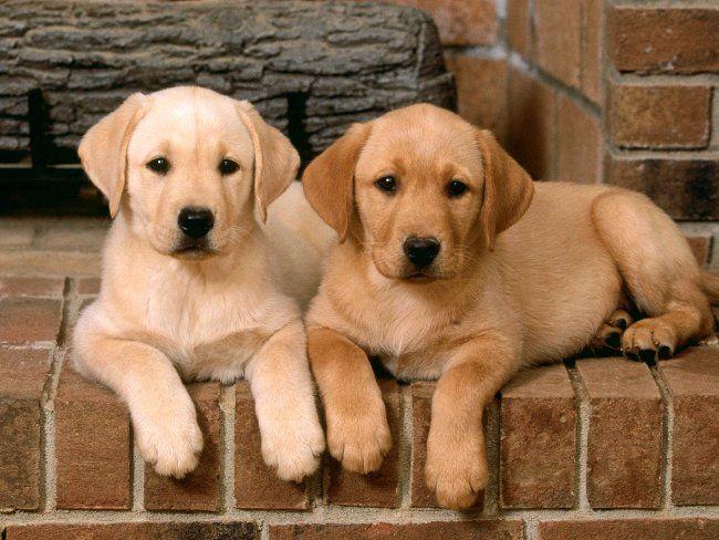 Дисплазія у собак