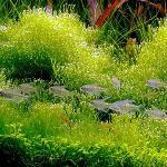 Яванский мох у вашому акваріумі