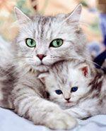 Як доглядати за вагітною кішкою