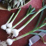 Особливості вирощування часнику