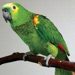 Пронос у папуги