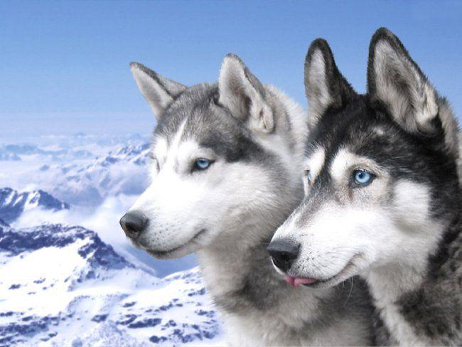 Порода собак хаскі