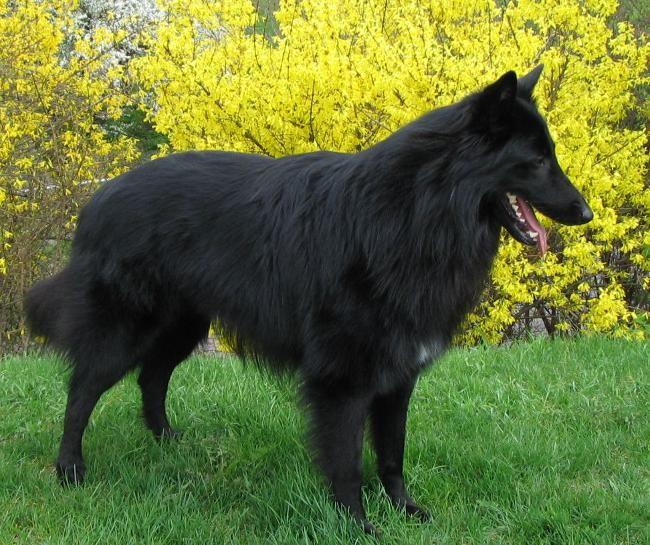 Породи собак: бельгійська вівчарка грюнендаль