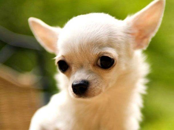Породи собак: чихуахуа