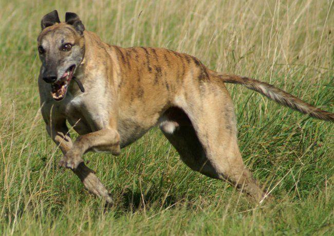 Породи собак: грейхаунд