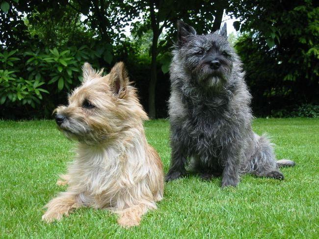 Породи собак: керн тер'єр