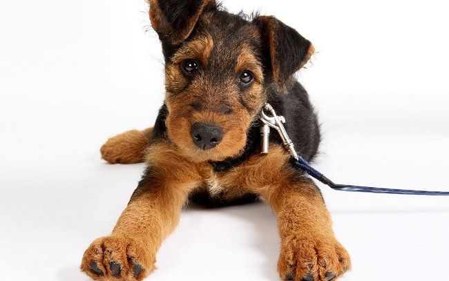 Середні породи собак