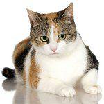 Триколірні кішки