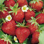 Вирощування полуниці і суниці