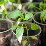 Вирощування розсади перцю: частина 1