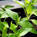Вирощування розсади перцю: частина 2