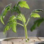 Вирощування розсади томатів: частина 1