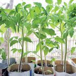 Вирощування розсади томатів: частина 2